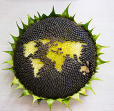 World map made from whole sunflower Stock Photos