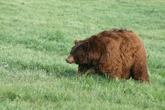 World Record Obese Grizzly Bear Royalty Free Stock Photo