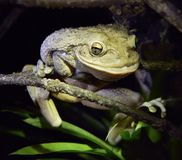World's Biggest Cuban Tree Frog at night .The Cuban tree frog ( Royalty Free Stock Images