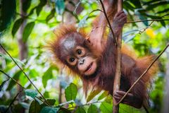 World`s cutest baby orangutan hangs in a tree in Borneo stock images