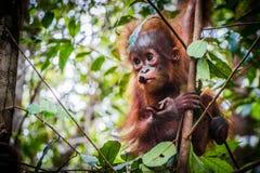 World`s cutest baby orangutan hangs in a tree in Borneo stock image