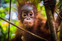 World`s cutest baby orangutan looks into camera in Borneo royalty free stock image