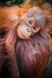 World`s cutest baby orangutan snuggles with Mom in Borneo stock photography