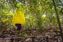 World`s Largest Cashew Tree - Pirangi, Rio Grande do Norte, Brazil Stock Photography
