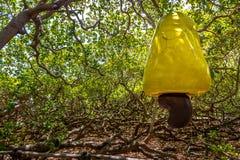 World`s Largest Cashew Tree - Pirangi, Rio Grande do Norte, Brazil Royalty Free Stock Images