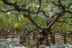 World`s Largest Cashew Tree - Pirangi, Rio Grande do Norte, Brazil. PIRANGI, BRAZIL - Nov 9, 2015: World`s Largest Cashew Tree - Pirangi, Rio Grande do Norte Royalty Free Stock Photo
