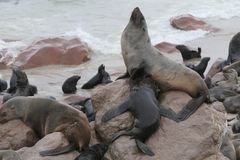 Seals. Mother and child royalty free stock image