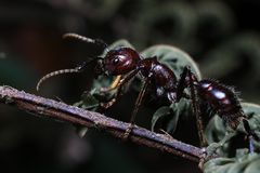 Bullet Ant, real killer insect with extremely potent sting. World`s Most Painful Insect Bullet Ant named for its extremely potent sting Paraponera clavata from royalty free stock images