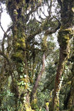 World's Oldest Mossy Forest Royalty Free Stock Photography