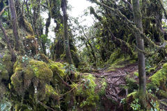 World's Oldest Mossy Forest Royalty Free Stock Photo