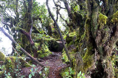 World's Oldest Mossy Forest Royalty Free Stock Images