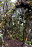 World's Oldest Mossy Forest Stock Images