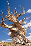 World's Oldest tree: the Bristlecone Pine. Twisted trunk of an ancient bristlecone pine - world's oldest living things - more than 4000 years old royalty free stock images