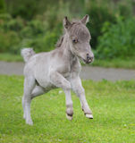 World`s smallest horse. Tiny foal measuring just 29 cm tall. Royalty Free Stock Photography