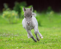 World`s smallest horse. Tiny foal measuring just 29 cm tall. Royalty Free Stock Photos