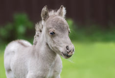 World`s smallest horse. Tiny foal measuring just 29 cm tall. Stock Photos