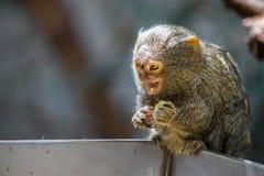 A Pygmee Marmoset or Callithrix Cebuella pygmaea. The world`s smallest primate Stock Photography
