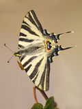 World Swallowtail Butterfly resting on a branch Stock Photo