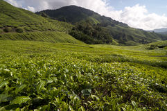 A world of tea, Cameron Highlands Stock Photo