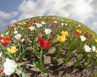 World of Tulips Royalty Free Stock Photos