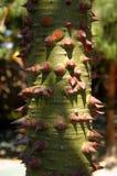 World's hardest tree to climb Stock Image
