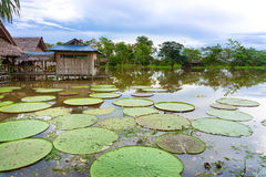 Worlds Largest Lily Pad Stock Photos