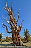 Worlds oldest trees in the White Mountains of California. USA Royalty Free Stock Photography