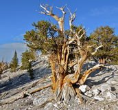 Worlds oldest trees in the White Mountains of California Royalty Free Stock Image