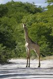 Worlds Tallest Mammal the Giraffe Stock Image