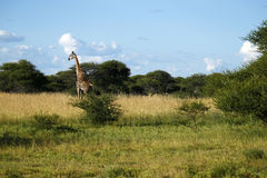 Worlds Tallest Mammal; the Giraffe. African Southern Giraffe, one of nine subspecies. A Journey of Giraffes royalty free stock photos