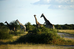 Worlds Tallest Mammal; the Giraffe. African Southern Giraffe, one of nine subspecies. A Journey of Giraffes stock images