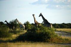 Worlds Tallest Mammal; the Giraffe. African Southern Giraffe, one of nine subspecies. A Journey of Giraffes Stock Images