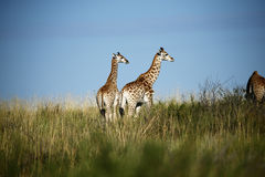 Worlds Tallest Mammal; the Giraffe. African Southern Giraffe, one of nine subspecies. A Journey of Giraffes royalty free stock photo