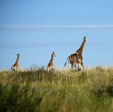 Worlds Tallest Mammal; the Giraffe. African Southern Giraffe, one of nine subspecies. A Journey of Giraffes Royalty Free Stock Image