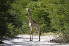 Worlds Tallest Mammal; Reticulated Giraffe Royalty Free Stock Images