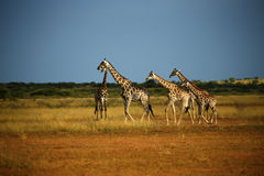 Worlds Tallest Mammal; Reticulated Giraffe. African Reticulated Giraffes a journey of giraffes royalty free stock photo