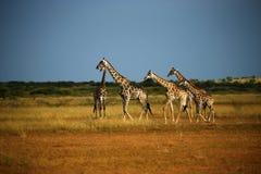 Worlds Tallest Mammal; Reticulated Giraffe. African Reticulated Giraffes a journey of giraffes Royalty Free Stock Photo