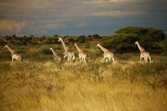 Worlds Tallest Mammal; Reticulated Giraffe. African Reticulated Giraffes a journey of giraffes Royalty Free Stock Photos