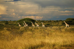 Worlds Tallest Mammal; Reticulated Giraffe. African Reticulated Giraffes a journey of giraffes stock images