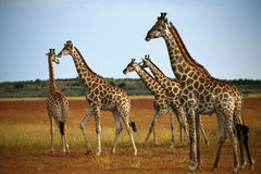 Worlds Tallest Mammal; Reticulated Giraffe. African Reticulated Giraffe, one of nine subspecies. A big herd or a Journey of giraffes Stock Image