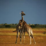 Worlds Tallest Mammal; Reticulated Giraffe. African Reticulated Giraffe, play neck fighting giraffes royalty free stock photography