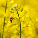 Worlink bee and canola plant Royalty Free Stock Images