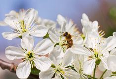 Worlink bee and cherry flower Royalty Free Stock Photo