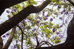 Worm's eye shot of a leafy and tall tree with violet flowers. stock image