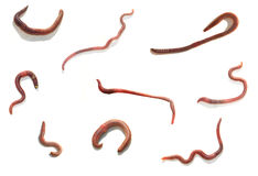 Worm Stock Photography