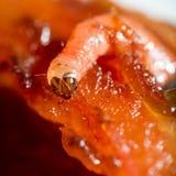 worm Fotografie Stock