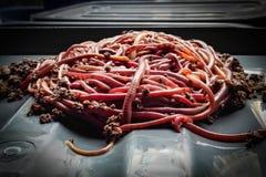 worm Stock Foto