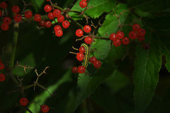 Worm on the berry plant. A yellow and black worm on the red berry plant in summer Royalty Free Stock Photography