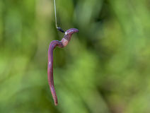 Worm bited on a fishing hook Royalty Free Stock Images
