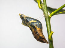 Worm butterfly Stock Image